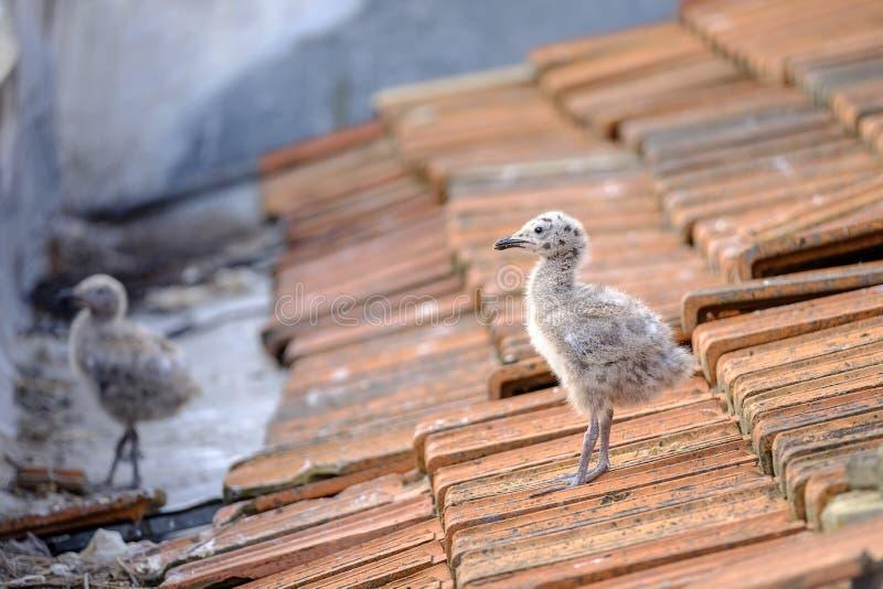 Zwergmöweküken auf einem mit Ziegeln gedeckten Dach 2 lizenzfreies stockbild