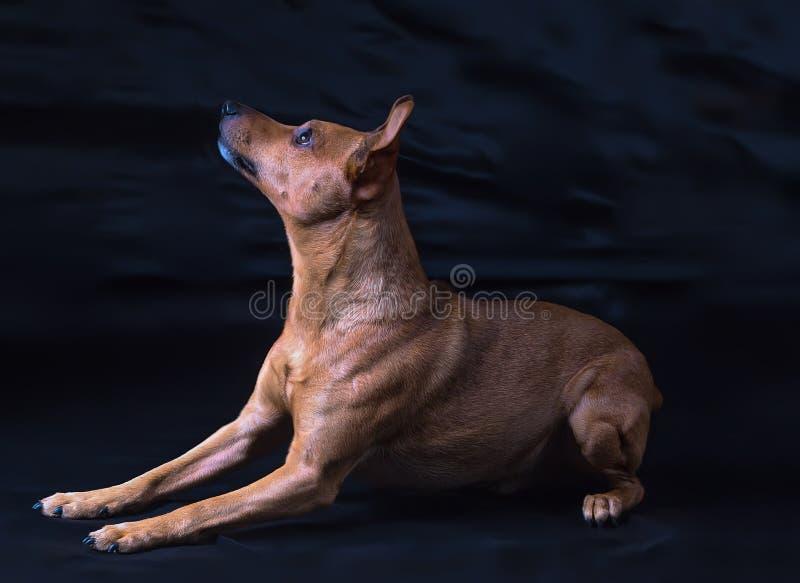 Zwergpinscher del perro en un fondo oscuro fotografía de archivo libre de regalías