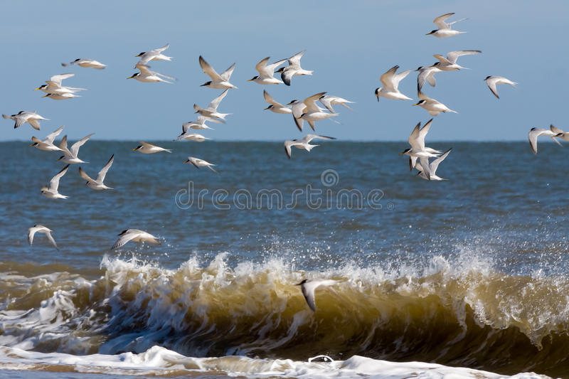 Zwergseeschwalben (sternula albifrons) fliegend entlang den Strand bei Wint lizenzfreie stockbilder