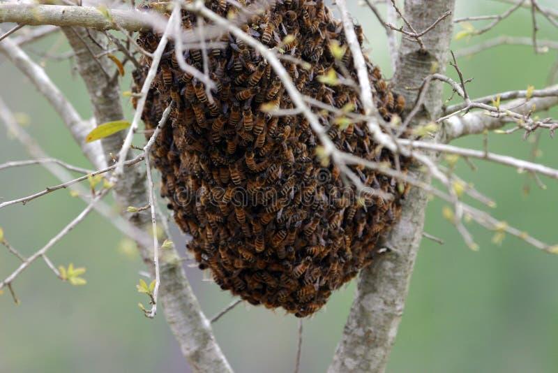 Zwerm van bijen royalty-vrije stock afbeeldingen