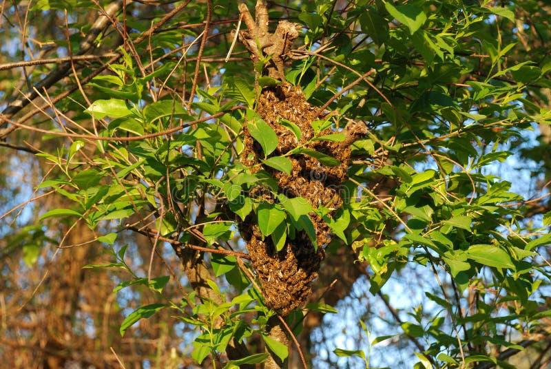 Zwerm van honingbijen in de lente stock afbeeldingen