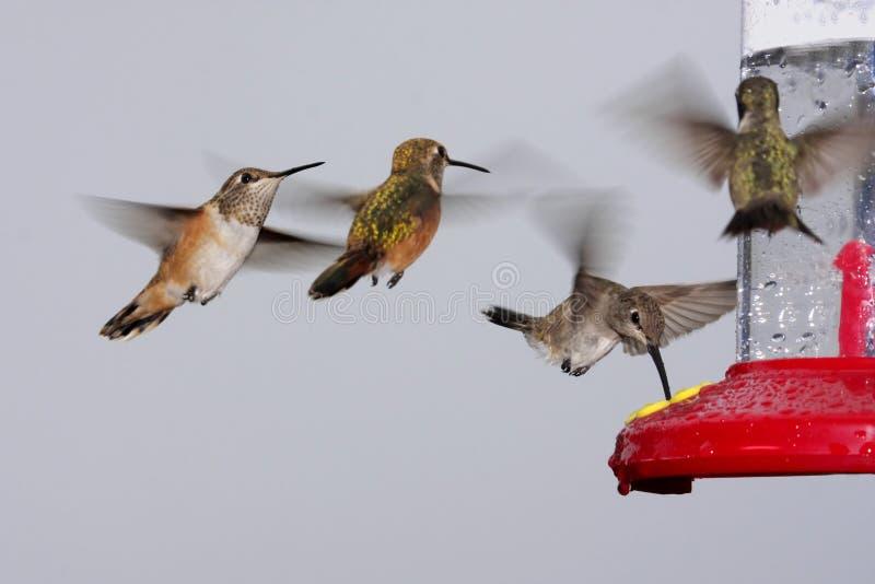 Zwerm van Kolibries bij een Voeder stock fotografie