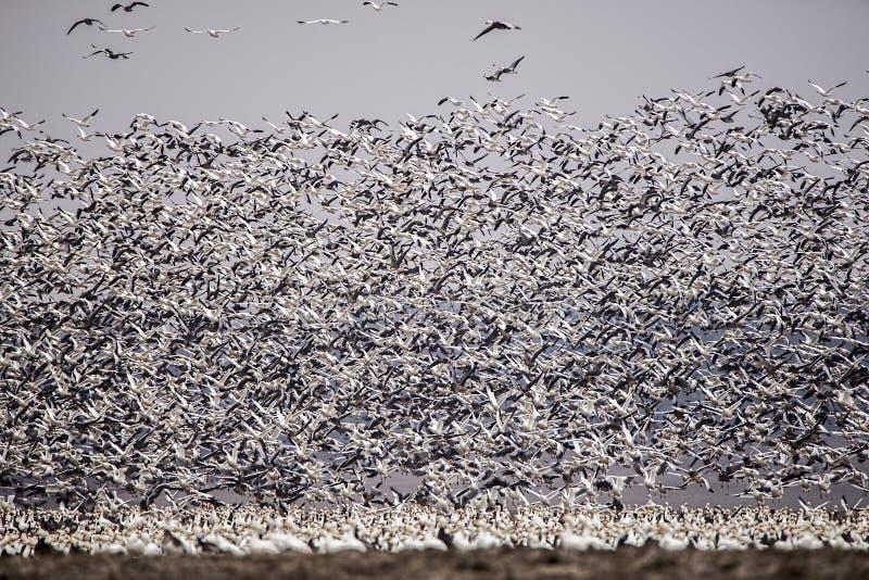 Zwerm van witte uitgezien op ganzen, het vliegen, veren, vleugels, het wild stock fotografie