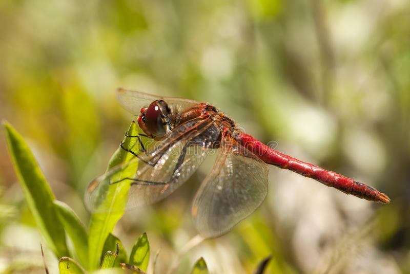 Zwervende heidelibel,红成脉络的突进者, Sympetrum fonscolombii 图库摄影