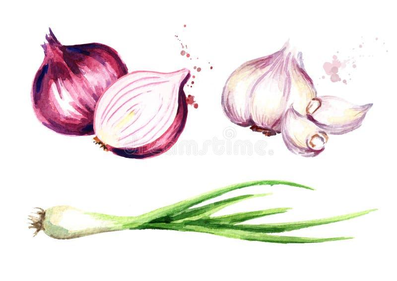 Zwiebel, grüner Schnittlauch und Knoblauchsatz Gezeichnete Illustration des Aquarells Hand, lokalisiert auf weißem Hintergrund stock abbildung