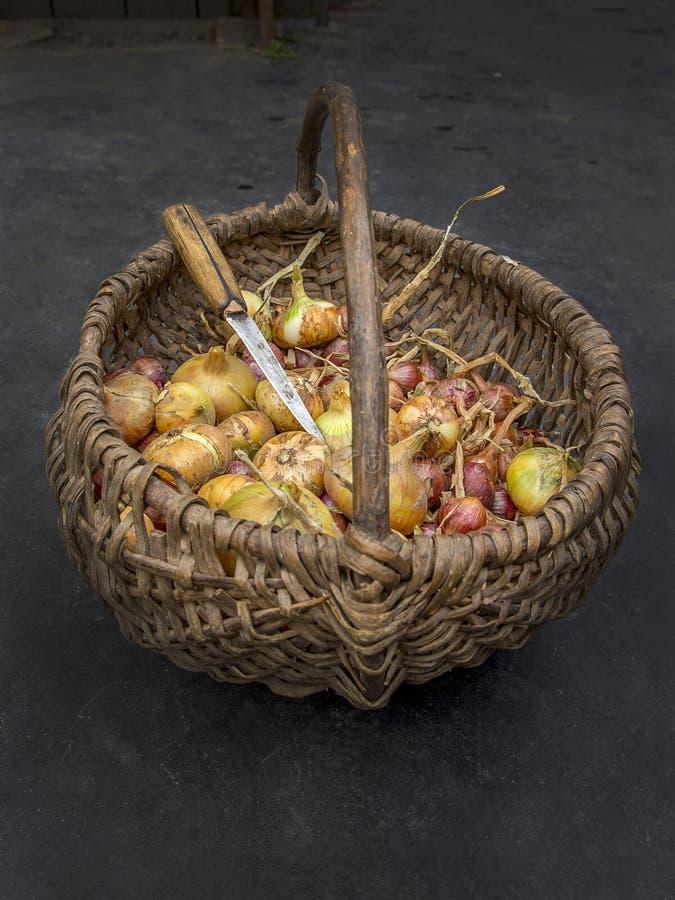 Zwiebel im Korb stockfoto
