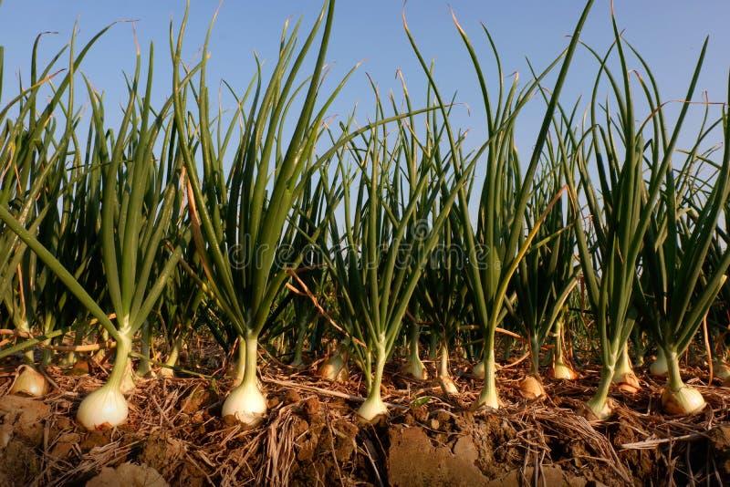 Zwiebel im landwirtschaftlichen Bauernhof lizenzfreie stockbilder