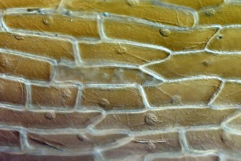 Zwiebelbirnen-Skalaepidermis lizenzfreies stockfoto