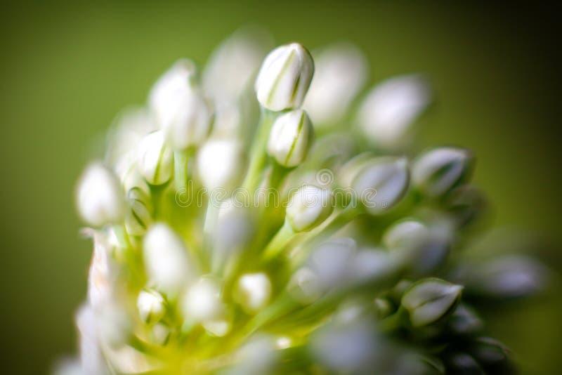 Zwiebelblumenmakro stockbild