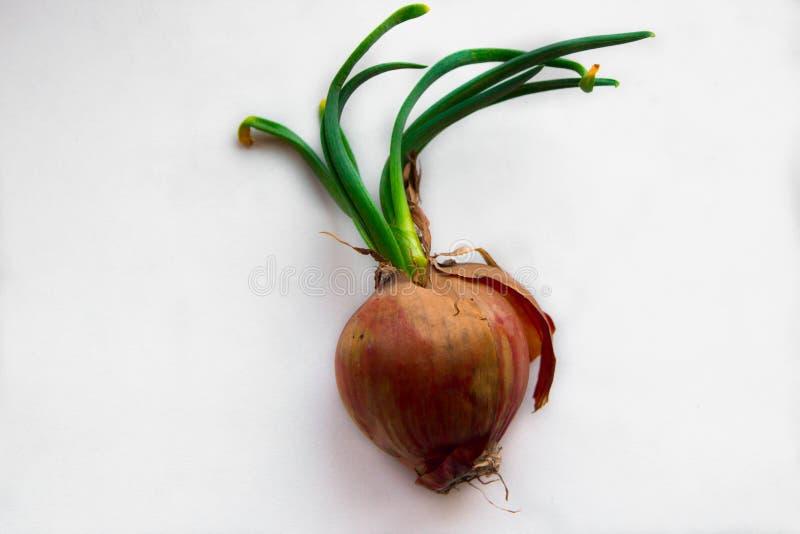 Zwiebeln auf einem weißen Hintergrund Blätter der grünen Zwiebel stockbilder