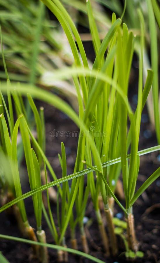 Zwiebelplantage lizenzfreies stockfoto