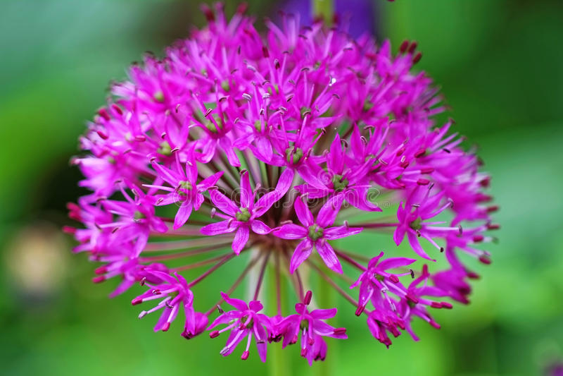 Zwiebelpurpurblüte stockfotografie