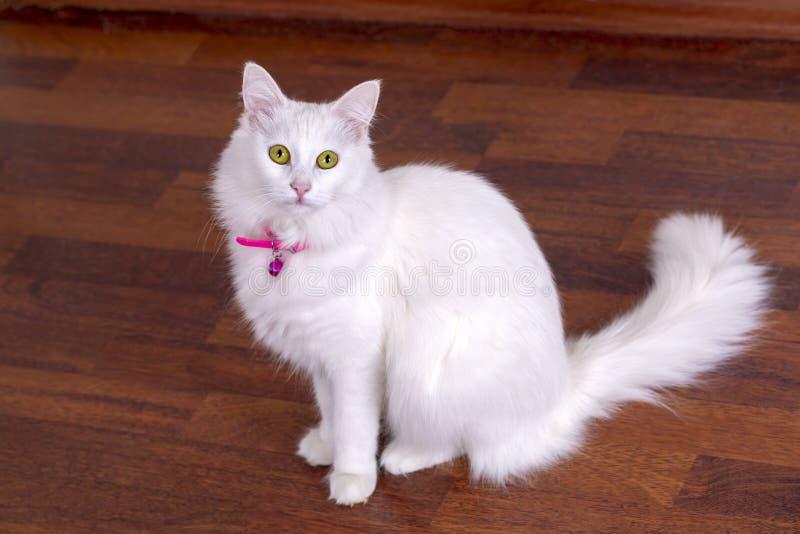 Zwierzęcia domowego zwierzę; śliczny biały kot Turecczyzny Ankara kot obraz royalty free