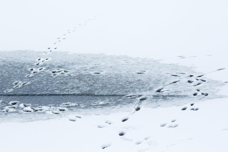 Zwierzę ślada na lodzie fotografia royalty free