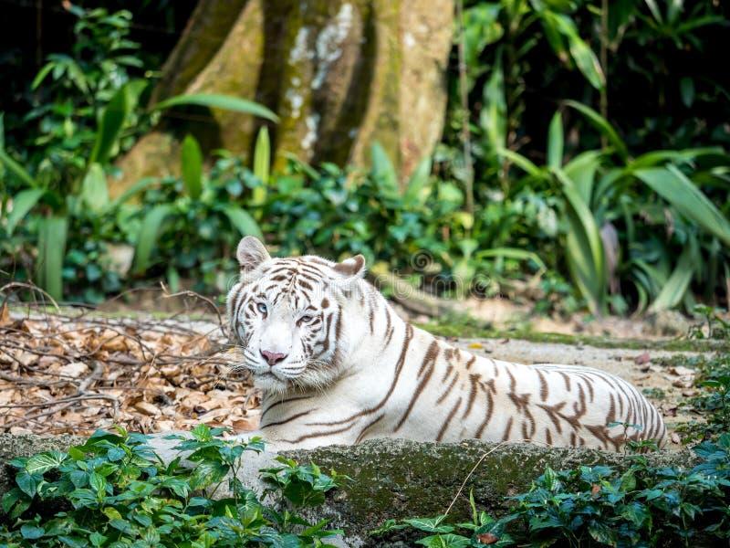 Zwierzę: Biały tygrys obrazy stock