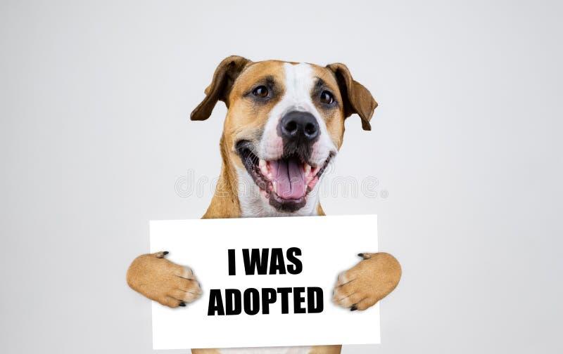 Zwierzę domowe adopcji pojęcie z Staffordshire teriera psem Śmieszni pitbull teriera chwyty obrazy royalty free
