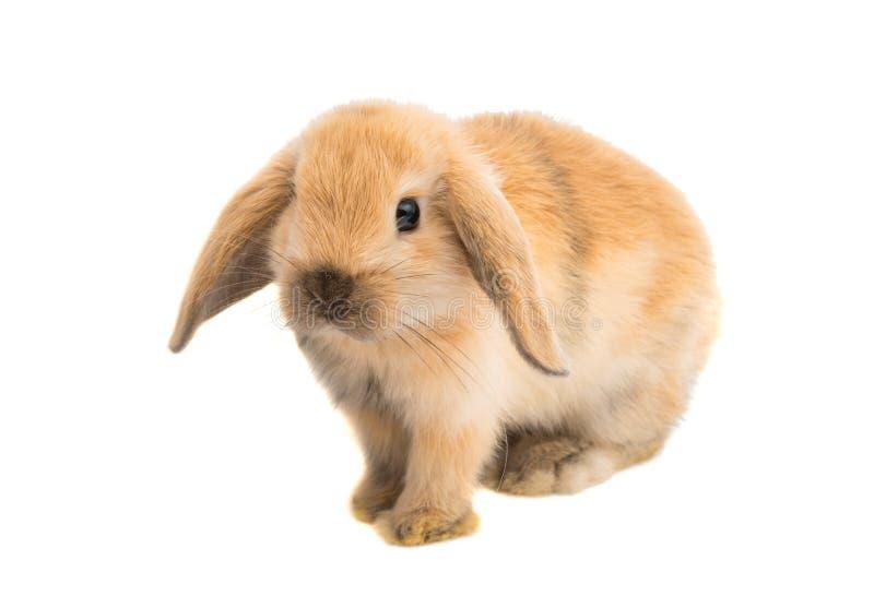 Zwierzę domowe królik zdjęcie stock