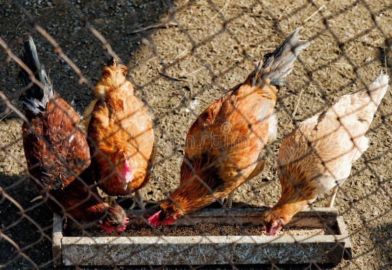 Zwierzę domowe kurczaki w henhouse obraz royalty free