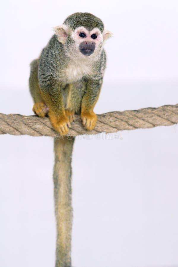 Zwierzę domowe małpa obraz stock