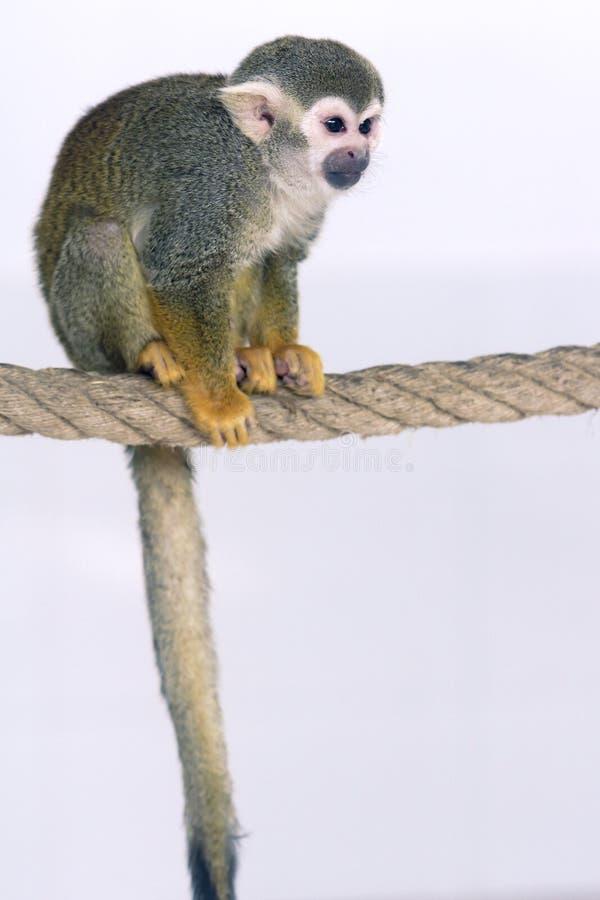 Zwierzę domowe małpa zdjęcia stock