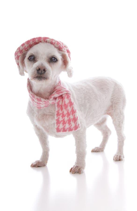 Zwierzę domowe pies jest ubranym zima szalika i kapelusz zdjęcia royalty free