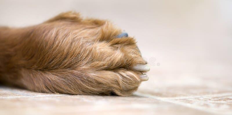 Zwierzę domowe psa łapa w górę, sieć sztandar obraz royalty free