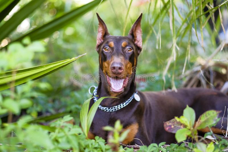 Zwierzę domowe psa trakenu doberman radosny w widzieć jego kopułę zdjęcie royalty free