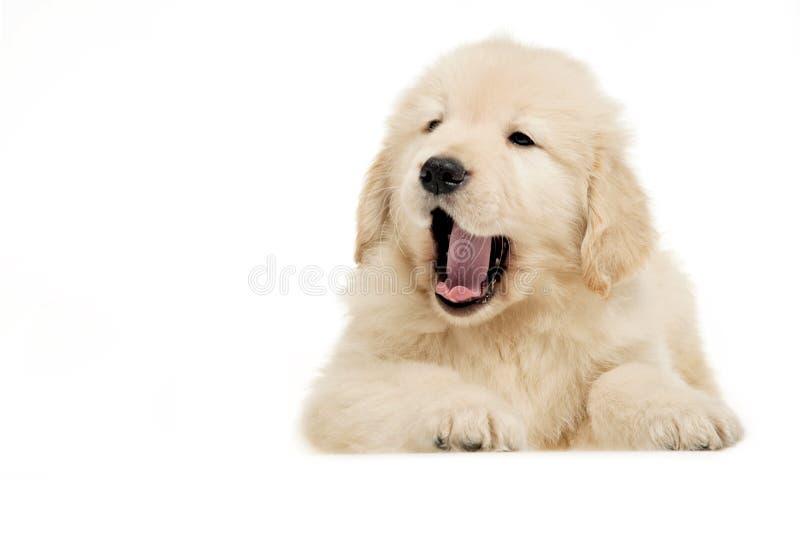zwierzę domowe psi złoty aporter zdjęcia stock