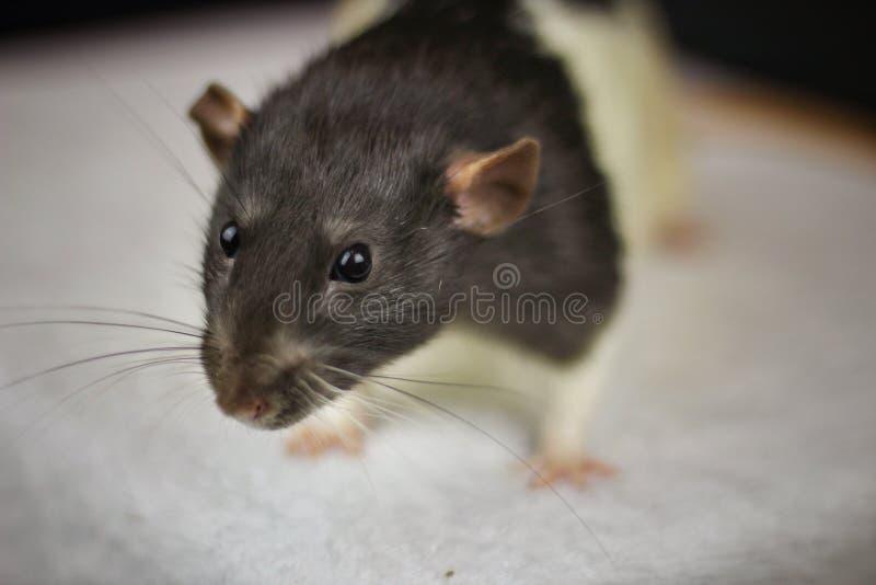 zwierzę domowe szczur fotografia royalty free
