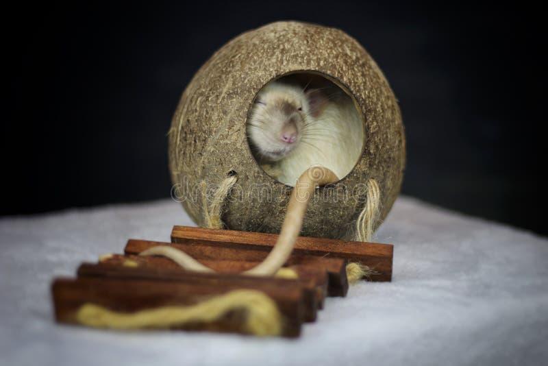 zwierzę domowe szczur zdjęcia royalty free