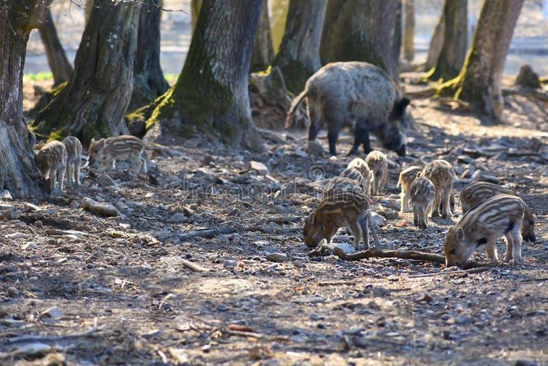 Zwierzę - dziki knur w dzikim zdjęcia stock