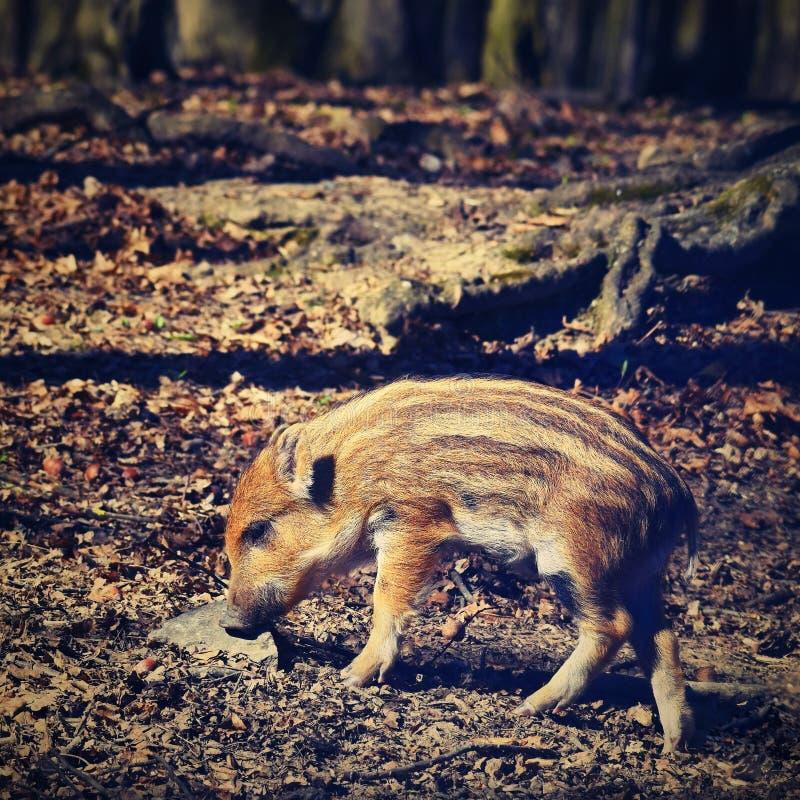 Zwierzę - dziki knur w dzikim obraz stock