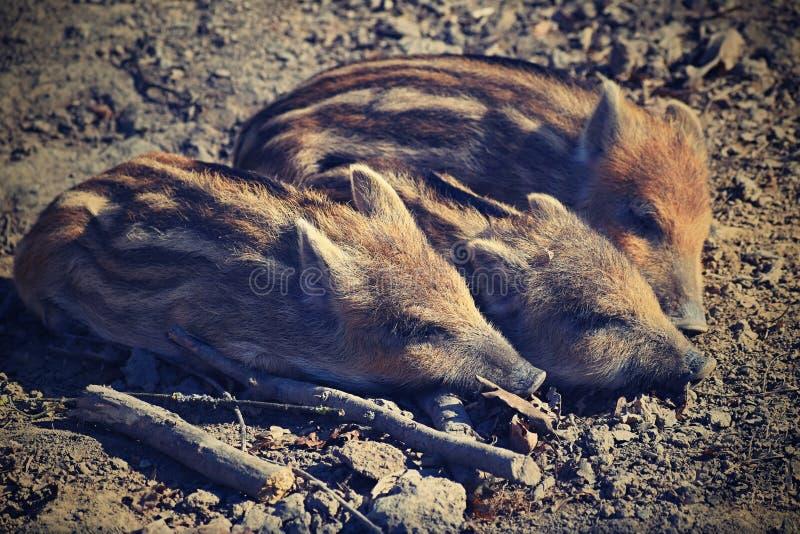 Zwierzę - dziki knur w dzikim fotografia stock