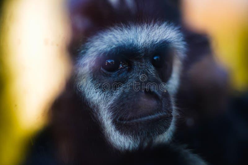 Zwierzę gibonu zbliżenia małpia twarz, przyroda obraz stock