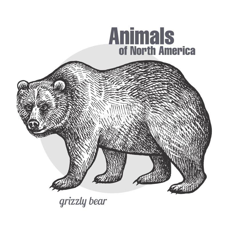 Zwierzę Północna Ameryka grizzly niedźwiedź royalty ilustracja