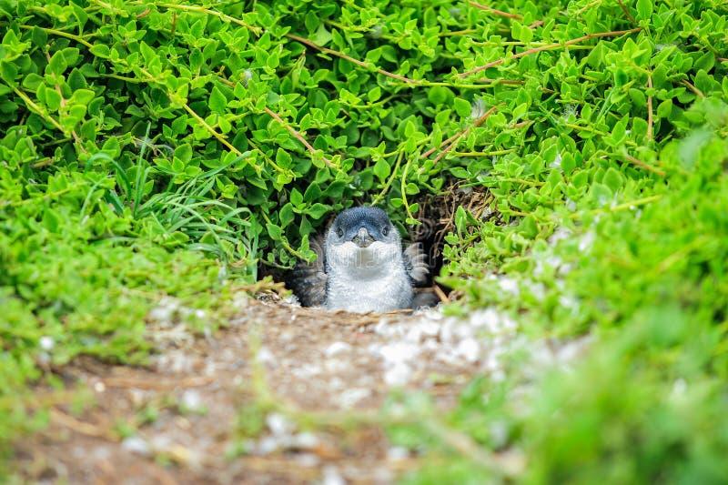 Zwierzę: Pingwin przy Australia zdjęcie stock