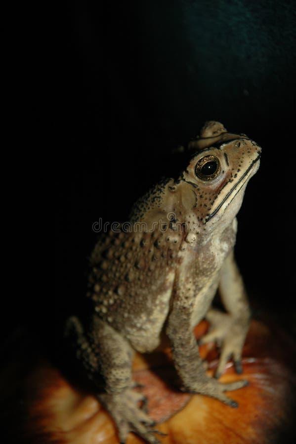 zwierzę stóp zamkniętej słodką żaby ropuchę mała samoprzylepną przyrody zdjęcie royalty free
