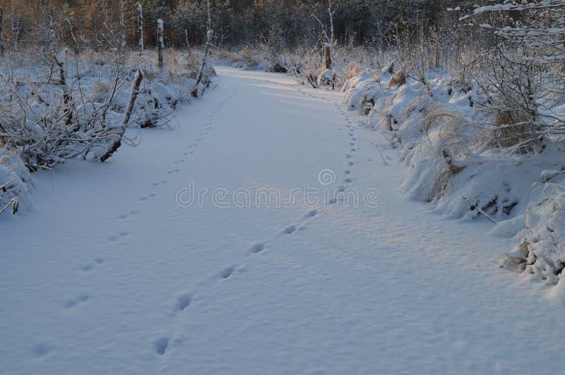 Zwierzę tropi w śnieżnej powszechnej lasowej rzece obrazy royalty free