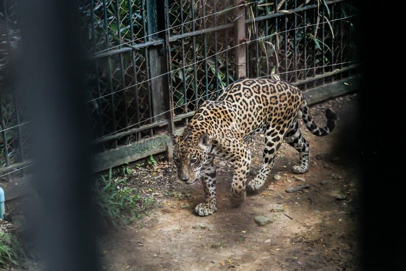 Zwierzę w zoo niewoli: Jaguar duży kot w Ameryki Odludni, straszni drapieżników zwierzęta, mięśniowego ciała budowa, głęboka obrazy royalty free