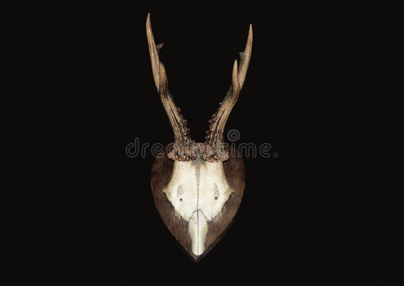 zwierzęca czaszka zdjęcie royalty free