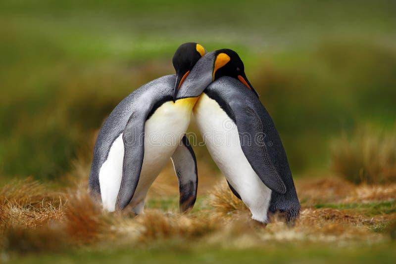 Zwierzęca miłość Królewiątko pingwinu para cuddling, dzika natura, zielony tło Dwa pingwinu robi miłości W trawie Przyrody scena  fotografia royalty free