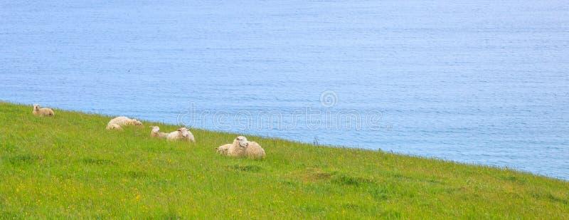 Zwierzęca przyroda w dzikim pojęciu Stado cakle i baranek pokojowo żywi w naturalnym Nowa Zelandia zielonej trawy łąki polu fotografia royalty free