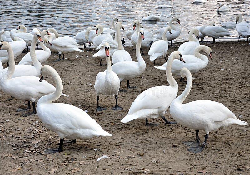 Zwierzęcy ptaków łabędź obraz royalty free