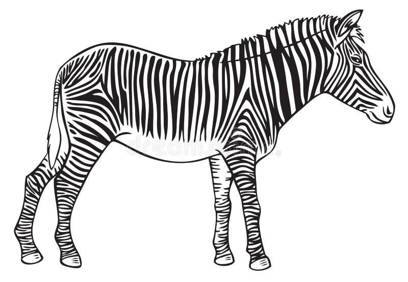 Zwierzęcy zebry ręki rysunek royalty ilustracja