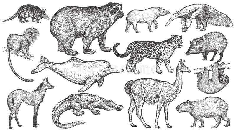 Zwierzęta Ameryka Południowa duży set ilustracja wektor