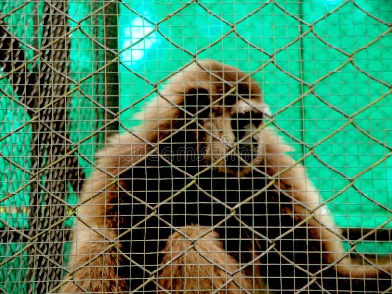 zwierzęta domowe w klatkach, gibony, zakończenie w górę obrazy royalty free
