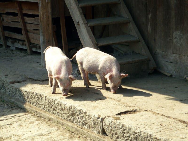 Zwierzęta gospodarskie, świnie wędruje wolno w wiosce w Porcelanowy patrzeć dla fund zdjęcie stock