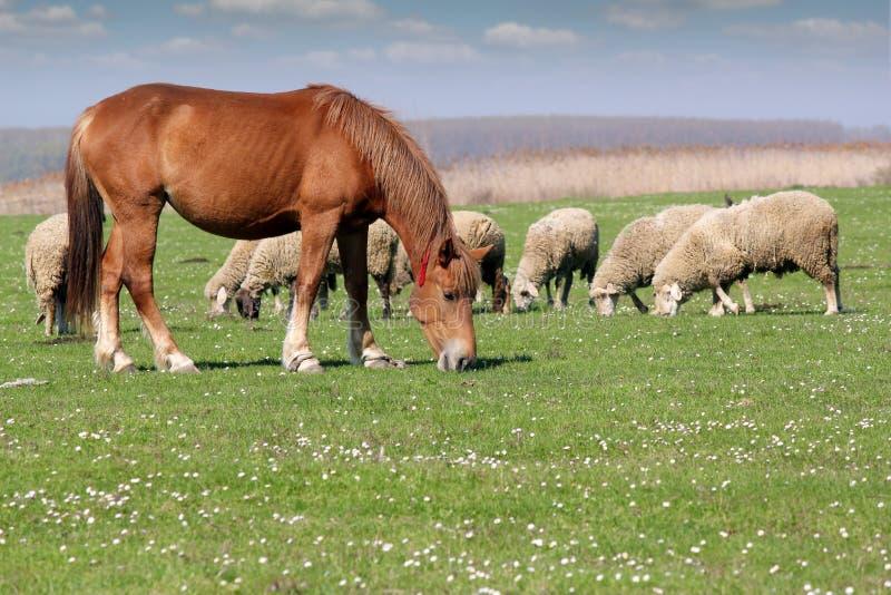Zwierzęta gospodarskie zdjęcia stock