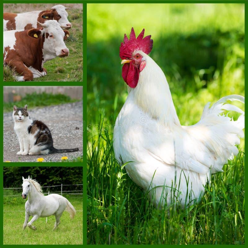 Zwierzęta gospodarskie - kolaż fotografia royalty free