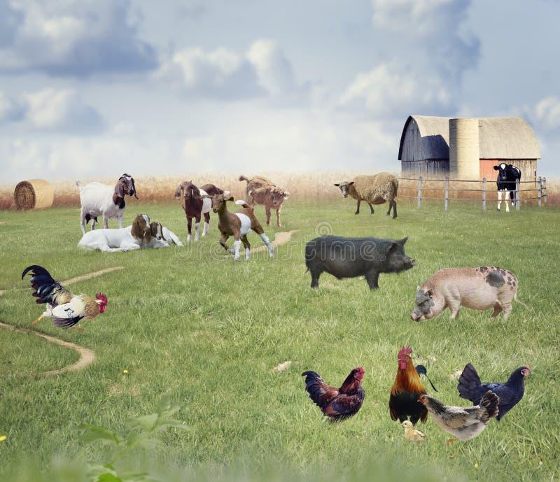 Zwierzęta gospodarskie kolaż zdjęcie stock